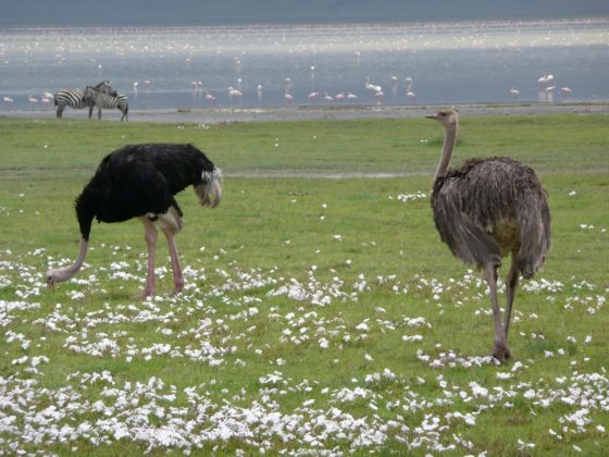 Ostrich, zebras and pink flamingos in the crater of Ngorongoro