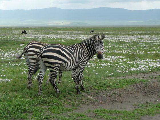 Zebras in the crater of Ngorongoro