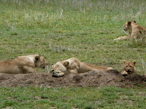 Lion family in Tanzania