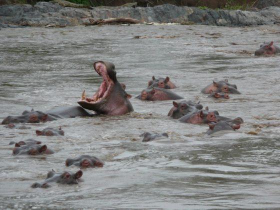Hippopotamus in Tanzania