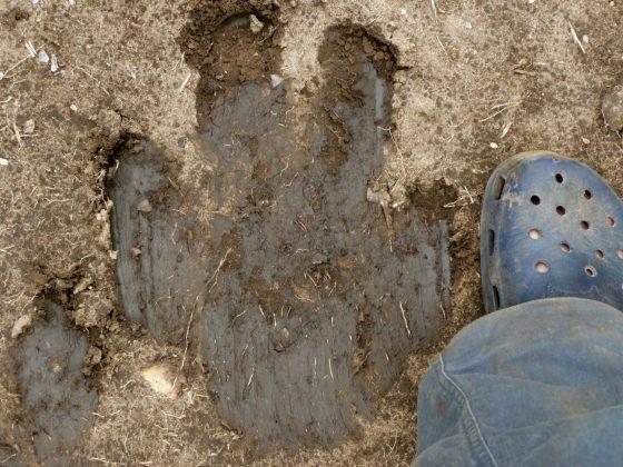 Hippopotamus footprint