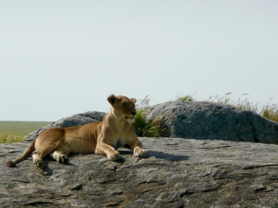 Magnificent lioness in Tanzania