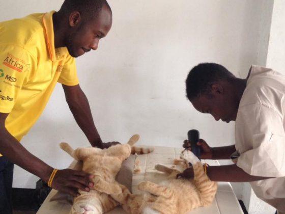 Cat neuters in Tanzania