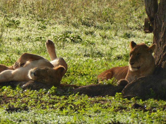 Lionesses safari FVAI Tanzania