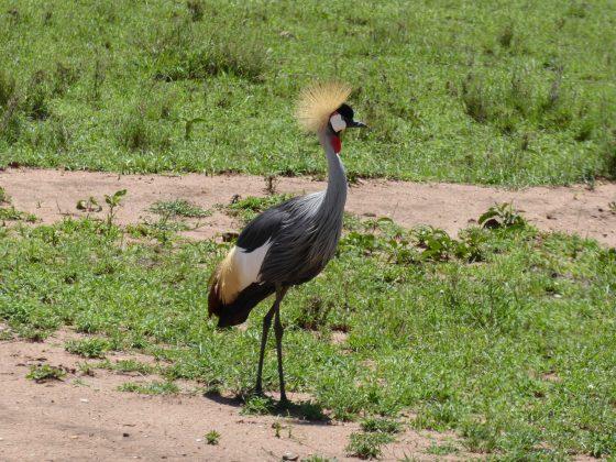 Crowned crane in FVAI safari Serengeti