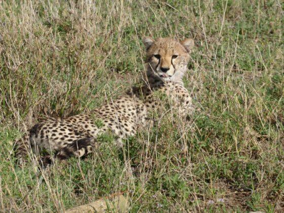 Cheetah on FVAI safari in Tanzania