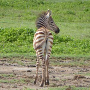 Baby zebra safari FVAI in Tanzania