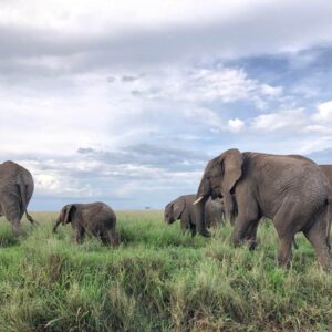 Beautiful elephants in Tanzania