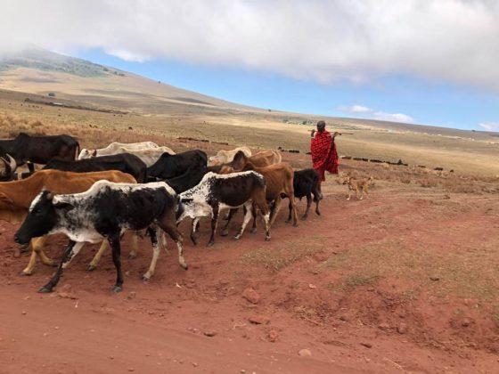 A Maasai and his herd in Tanzania