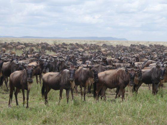 Migration of wildebeests in the Serengeti
