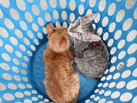 Feline patients in a special cage at FVAI clinic in Belize