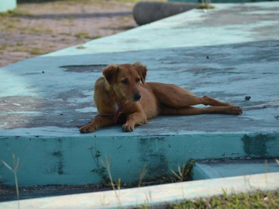 A dog in Corozal, Belize