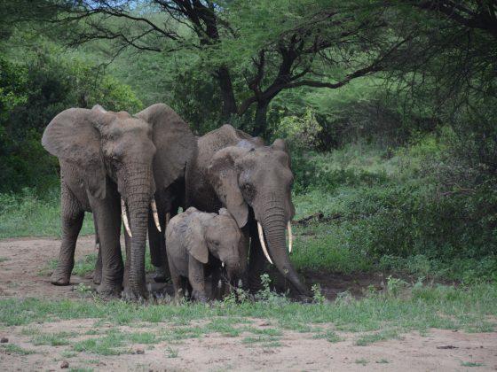 Three generations of elephants in Lake Manyara NP