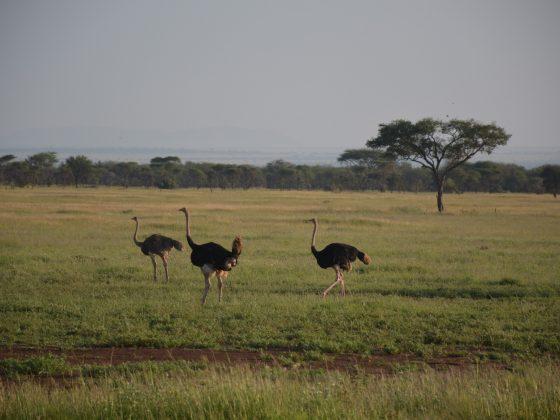 FVAI safari; ostriches in the bush