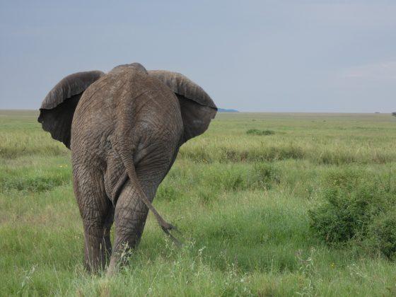 An elephant in Serengeti NP
