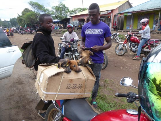 A litter of puppies is going back home on a piki piki (motorbike in swahili )