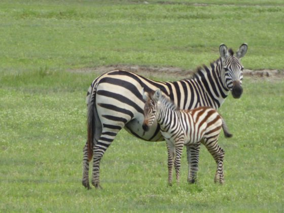 A mom zebra with its baby in the Ngorongoro crater