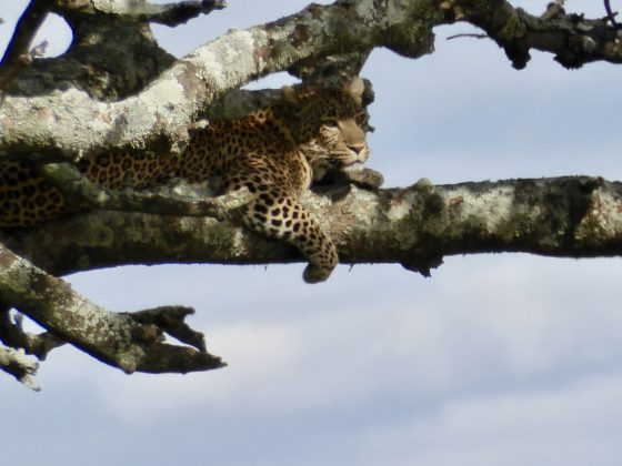 A leopard resting after its meal