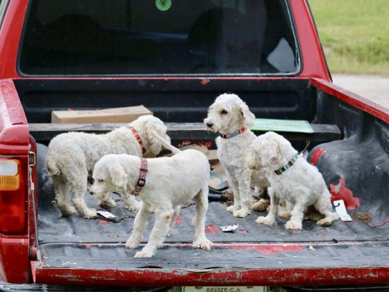 A little family going back home. Oh! the nice collars!