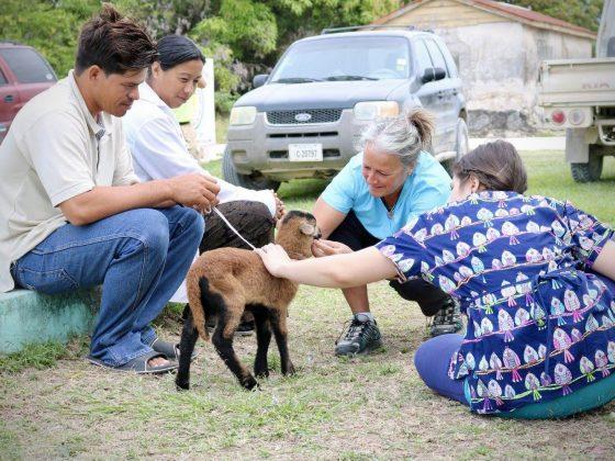 Cute goat at FVAI clinic in Sarteneja, Belize