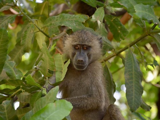 A cute baboon !