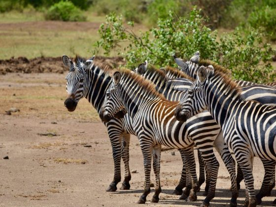 Beautiful zebras in Tanzania