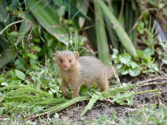 Oh the cute mongoose !