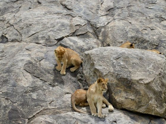 Lionesses and their cubs resting on a rock