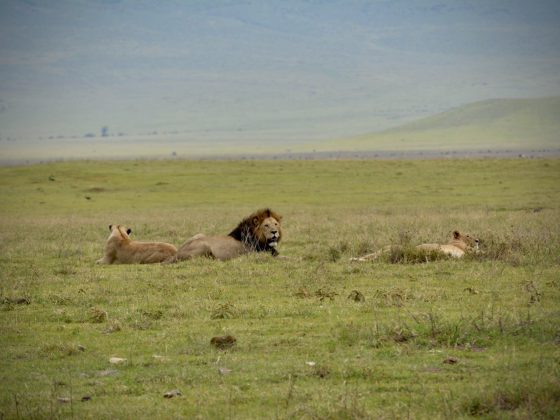 Proud lion with its lionesses in Ngorongoro crater