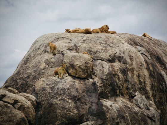 Lionesses and cubs chilling on a rock