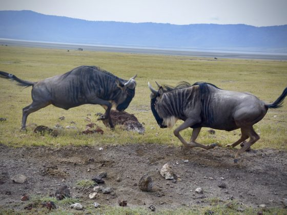 Wildebeests fighting in the Ngorongoro crater