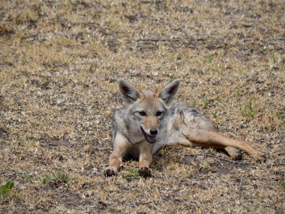Cute jackal