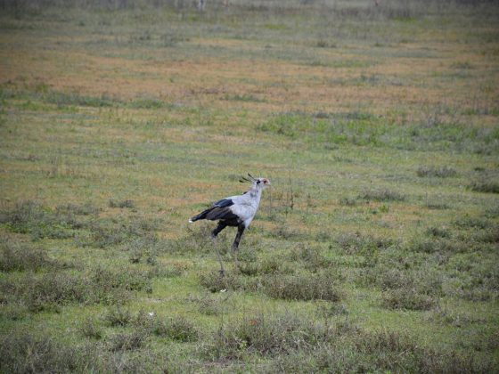 Secretary bird. It eats snakes.