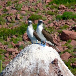 Blue footed boobies in Espiritu Santo, Baja California