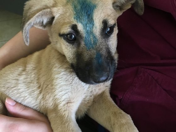 A temporary marking is applied on the forehead after the dog is vaccinated against rabies