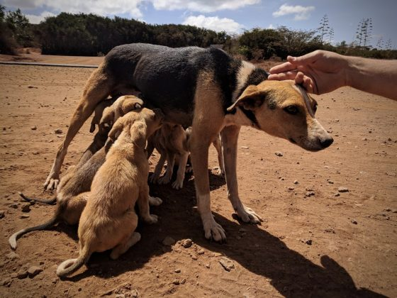 Thanks to our volunteers and donors. FVAI can spay dogs for free in many countries.