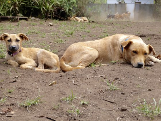 Dogs relaxing at Mbwa Wa Africa shelter. Chaos in the back!
