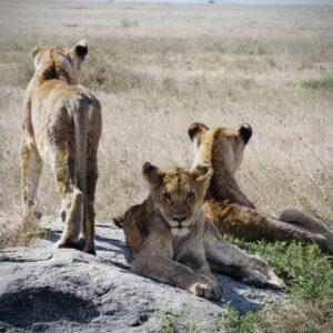 Beautiful lions in Serengeti Tanzania , FVAI safari