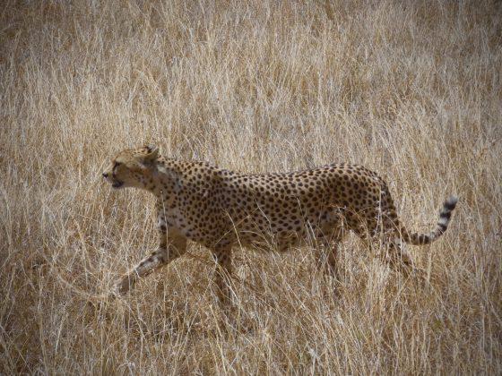 Cheetah in Serengeti National Park Tanzania, FVAI safari