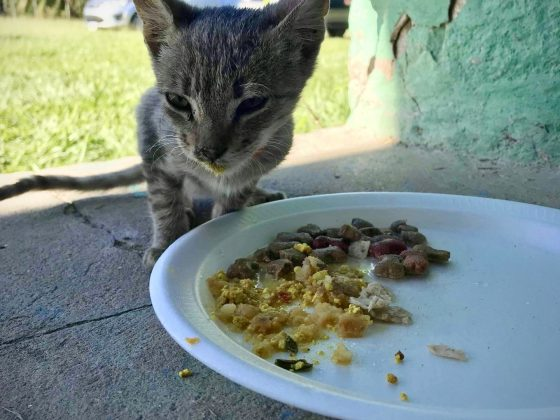Hungry kitten at FVAI spay neuter clinic in Belize