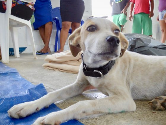 A dog in the recovery zone at FVAI spay neuter clinic in Belize