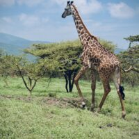 Beautiful giraffe in the Serengeti National Park Tanzania