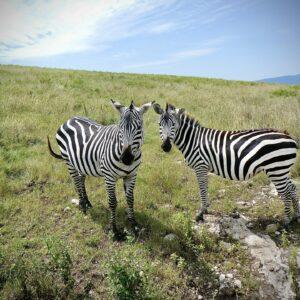 Zebras in the Ngorongoro Crater, FVAI safari, Tanzania