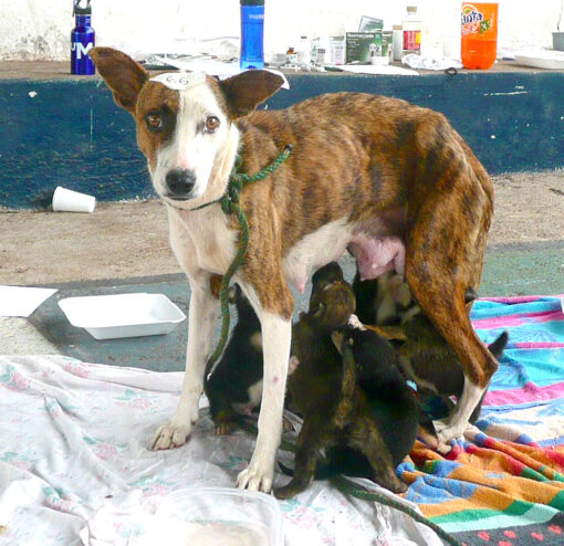 Stérilisation d'une chienne