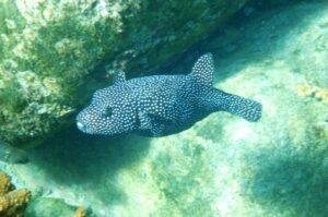 poisson ballon dans la mer de Cortez
