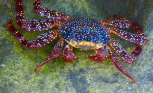 Magnifique crabe à Espiritu Santo