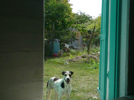 Un chien de Sarteneja au Belize