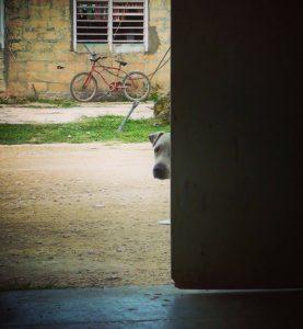 Chien timide aux portes de la clinique de la FAVI à Sarteneja, Belize