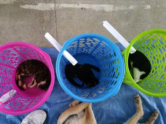 Chats dans leur panier de réveil à la clinique de la FAVI à Sarteneja, Belize
