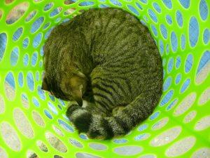 Chat dans son panier de réveil à Sarteneja, Belize